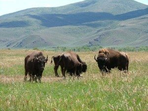 BISON-HUNT-AND-BUFFALO-HUNTING-Guides-and-Outfitters
