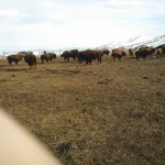 Close Up of Buffalo Herd