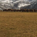 Picture of Buffalo Herd