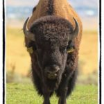 Buffalo bull staring down hunter