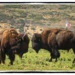 Buffalo bulls staring each other down