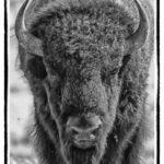 Black and white buffalo head close-up