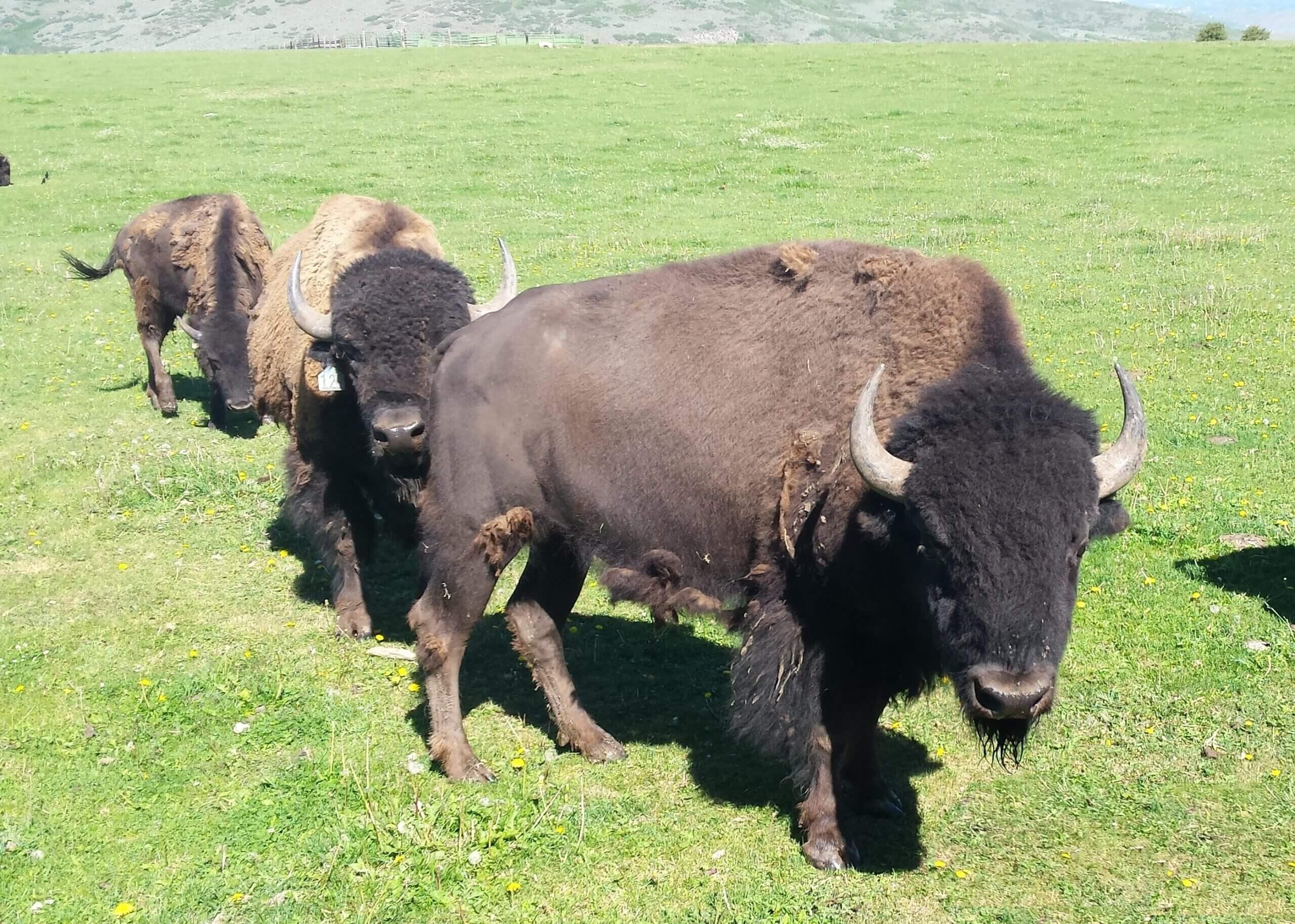 Peoa Utah Bison Hunting Operation